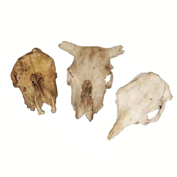 Animal Skulls and Bones-0