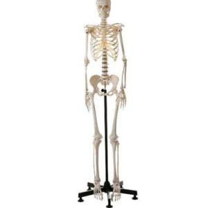 Medical - Full Skeleton