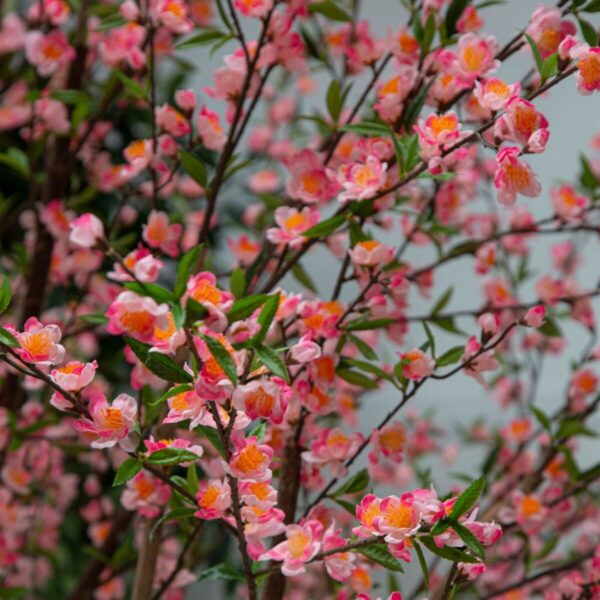 Pink Blossom 2.4m Tree